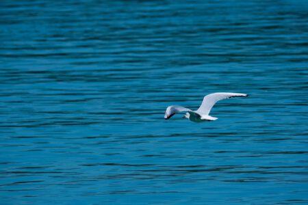 seagull, flying, lake